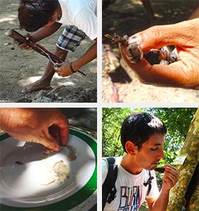 Manger un ver de mangrove à Sabang
