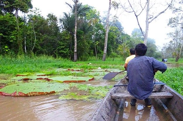 Voir les nénuphars géants durant ce deuxième jour en Amazonie