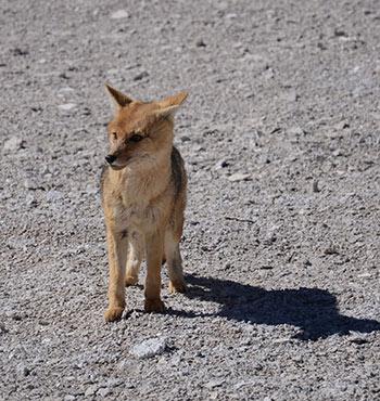 Un renard sauvage dans le Sud Lipez