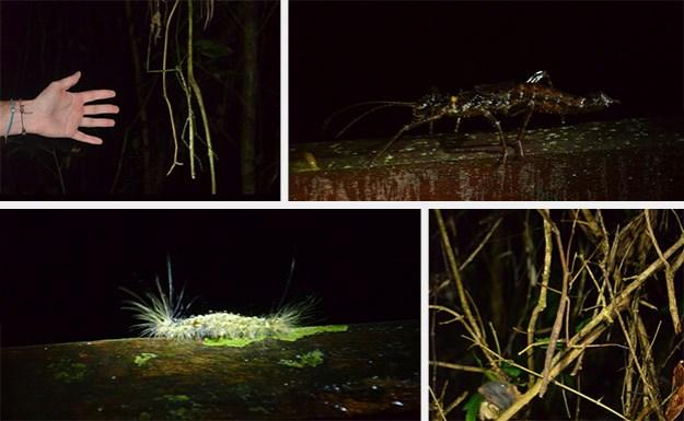 Les insectes de Gunung Mulu