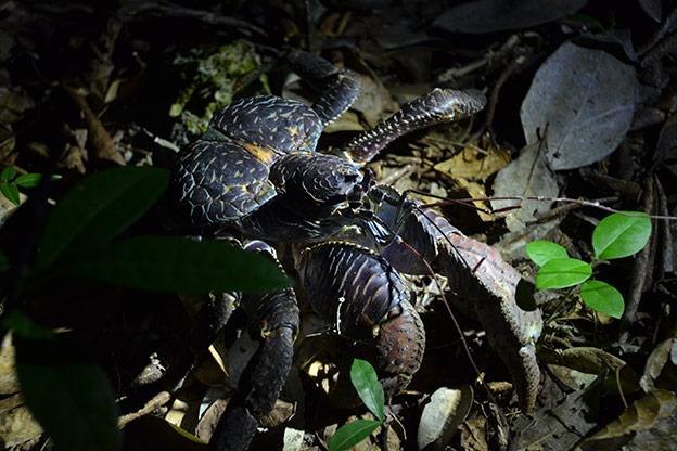 Les crabes des cocos