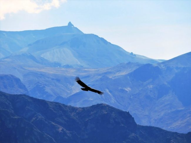 a condor at Chivay in the Colca Canyon