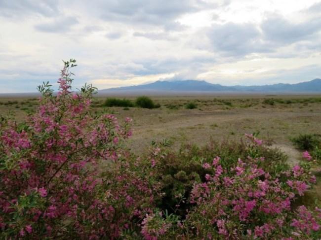 flowers in Altyn Emel National park