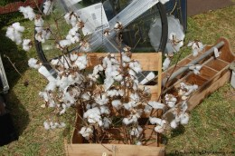 Cotton plants.