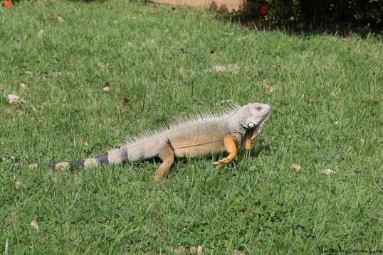Iguana in San Juan Puerto Rico
