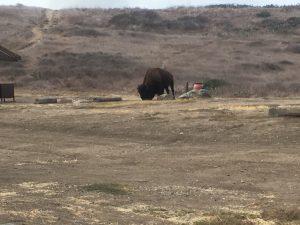 Catalina Island buffalo bison