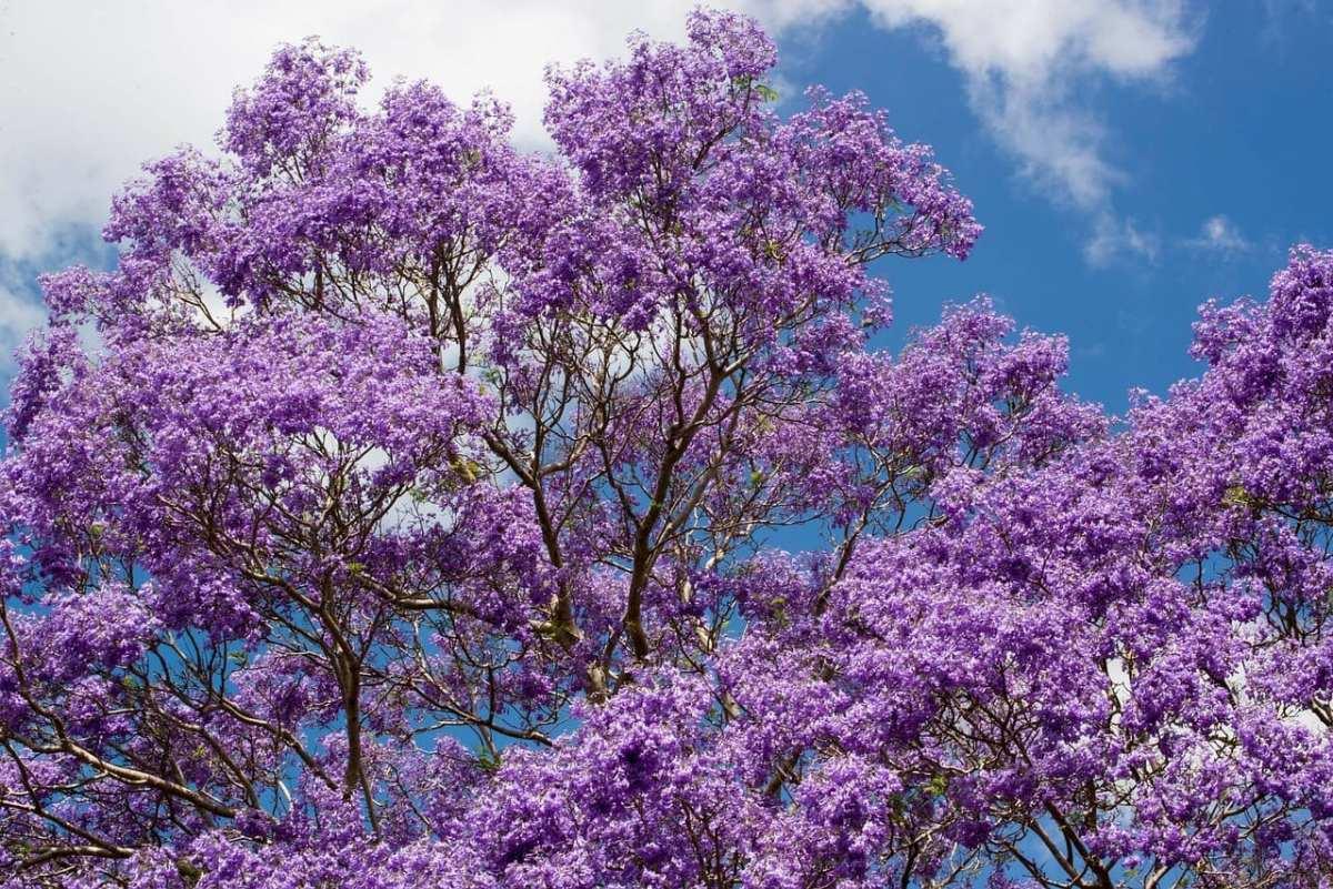 jacaranda, Australia