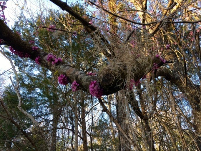 Redbud at Florida Caverns