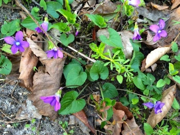 Wild Violets at Florida Caverns