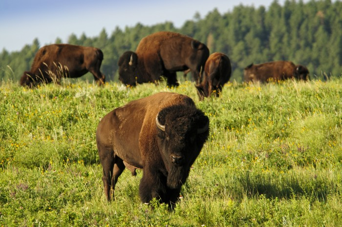 Buffalo00248 1c - 30+ North American Bucket List Destinations