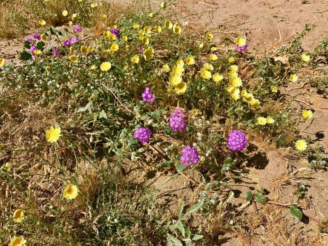 IMG 2259 - Wildflower Chasing at Anza-Borrego Desert State Park California