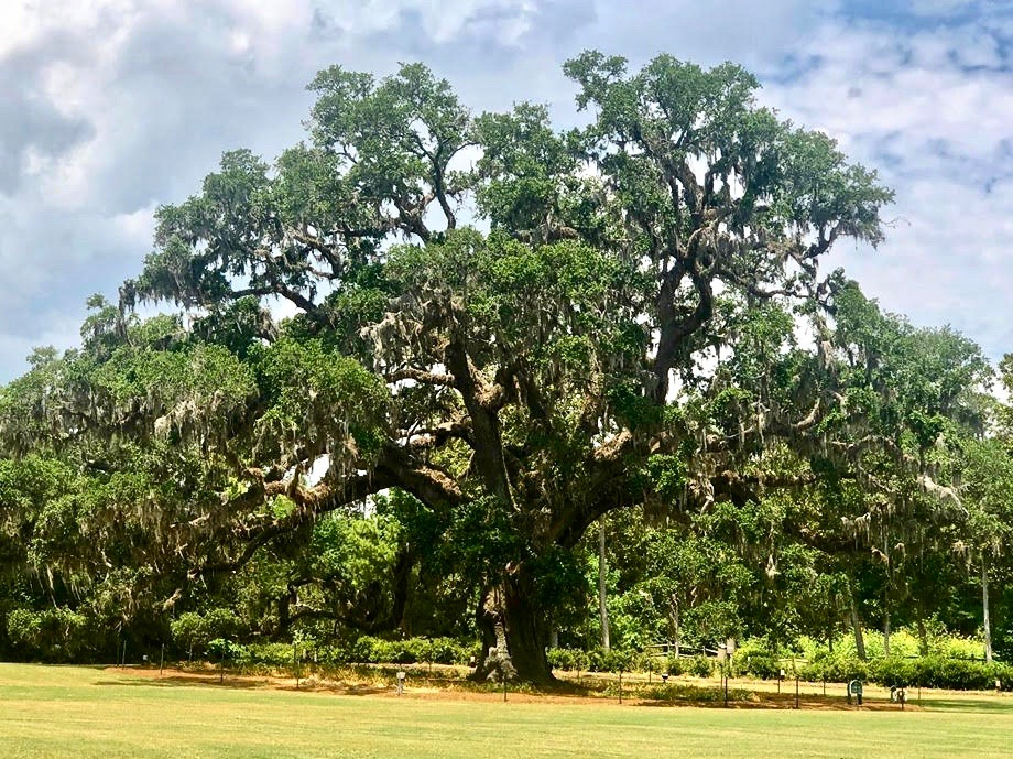 Airlie Gardens oak - Wilmington, North Carolina: Hooray for Hollywood & Hometown Hospitality!