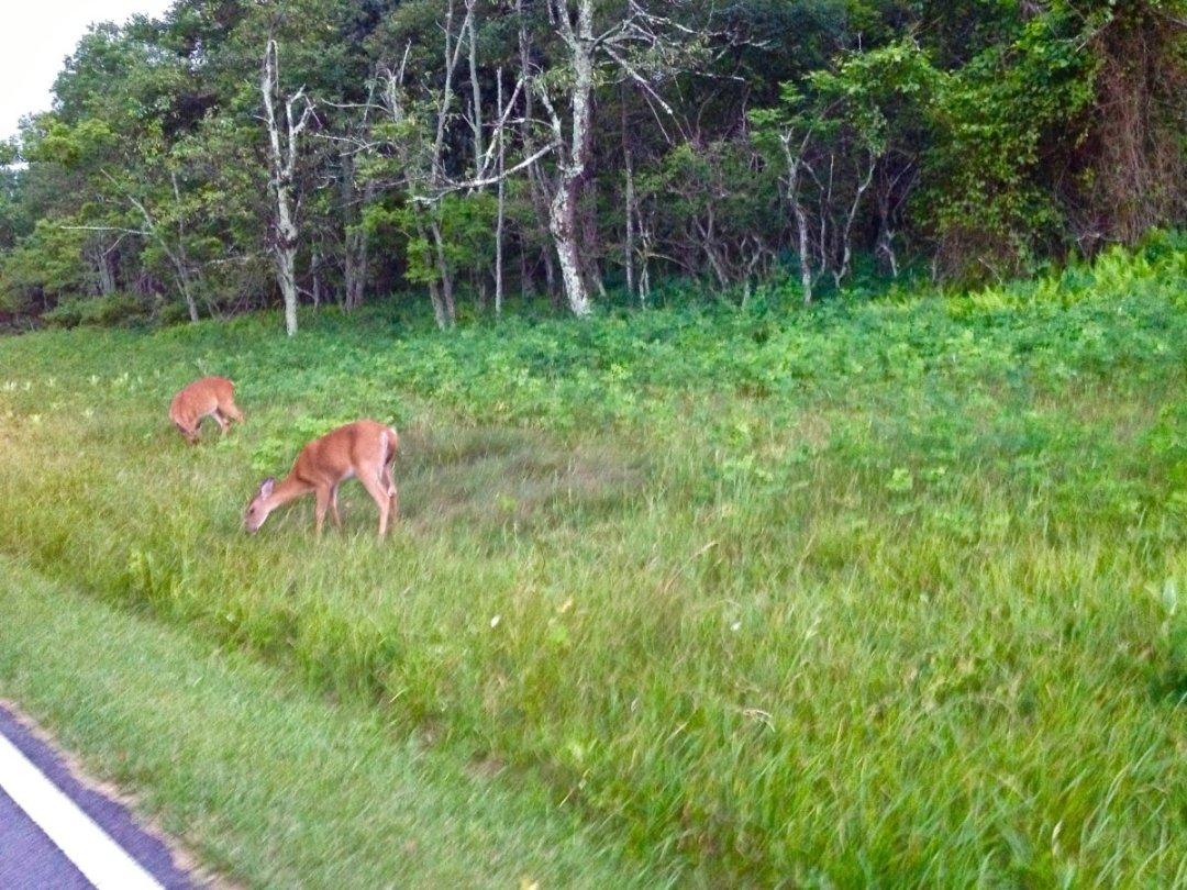 Shenandoah roadside deer - Visit Waynesboro Virginia: Gateway to the Shenandoah Valley