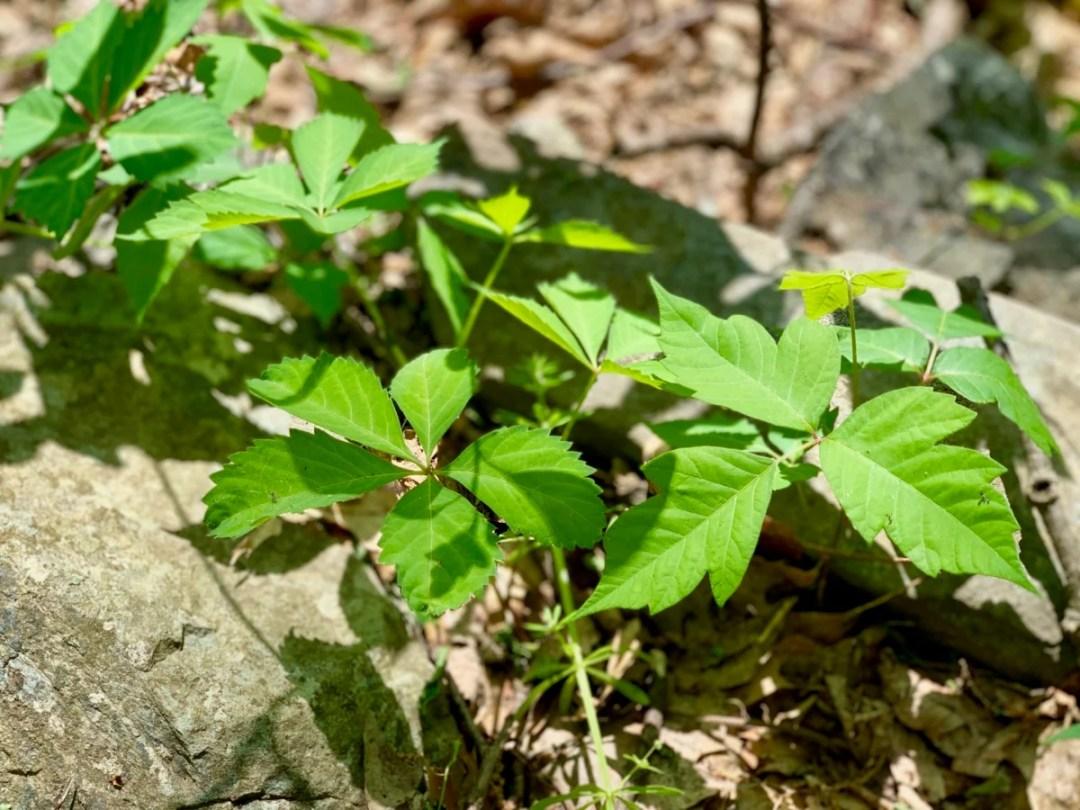 Virginia Creeper Poison Ivy - Visit Waynesboro Virginia: Gateway to the Shenandoah Valley
