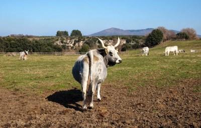 Maremma Cattle