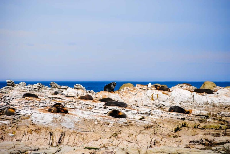 Seals on the Kaikoura Peninsula
