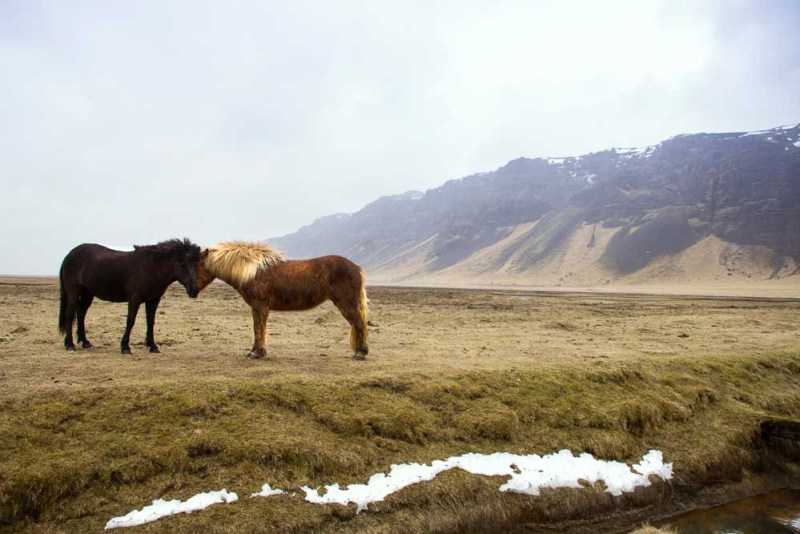 Wild ponies in Iceland-sm