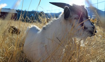 A New Face on the Farm: Ice Cream the Billy Goat