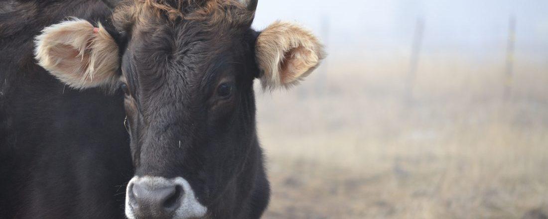 Mocha the Milk Cow