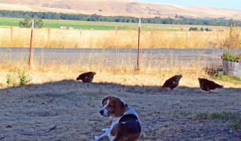 Chickens v. Dogs (Spoiler: The Dogs Always Win)