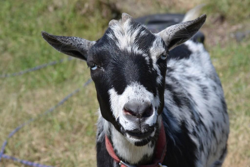 Older Nigerian Goat