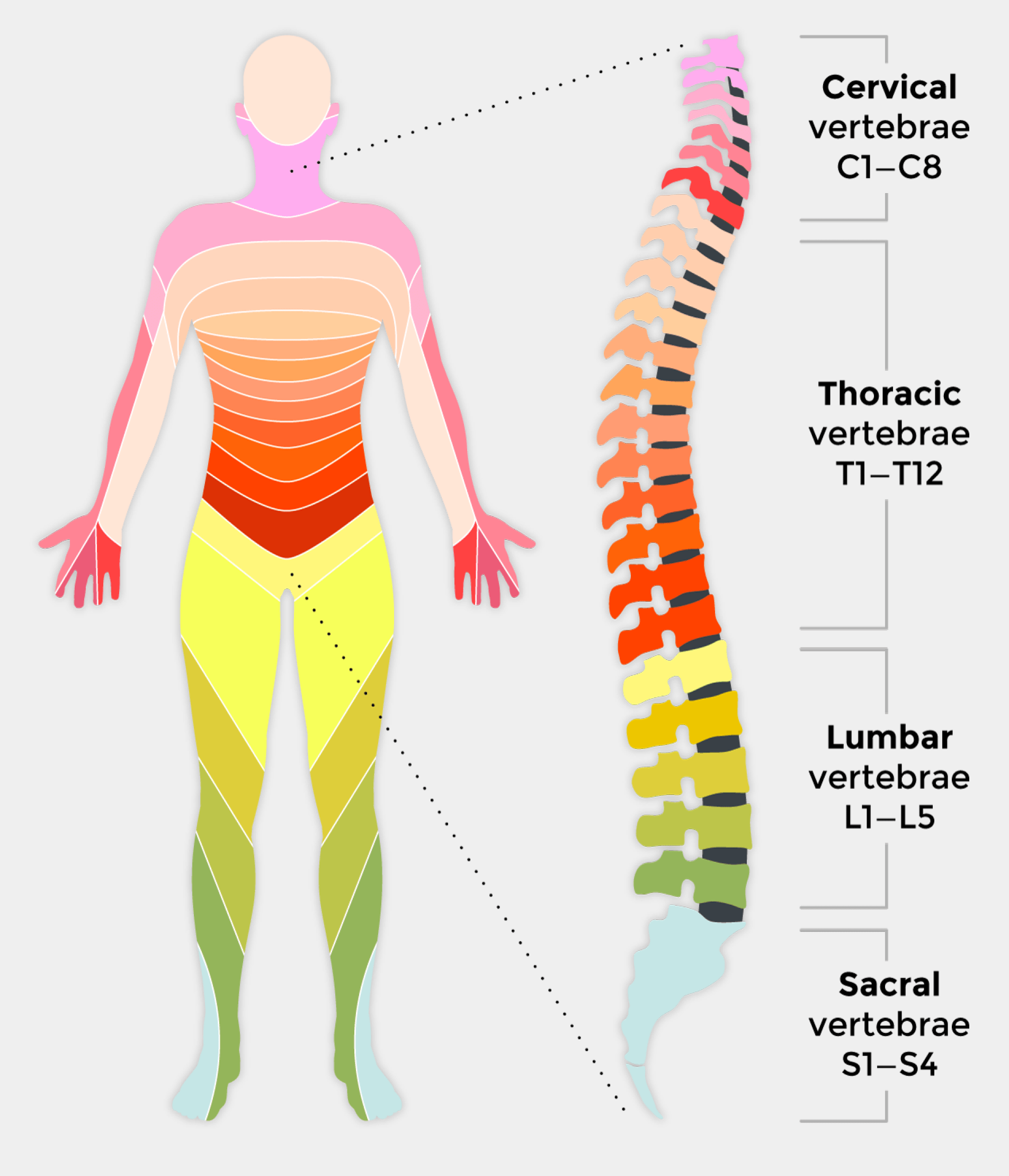 hight resolution of full spinal cord diagram wiring diagram used full spinal cord diagram