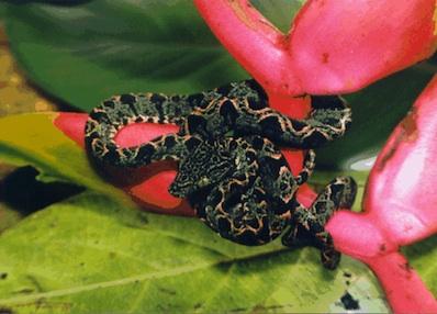 Amazon Tree Boa For Sale Reptiles For Sale