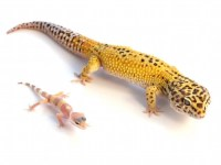 Giant Leopard Gecko for Sale | Reptiles for Sale