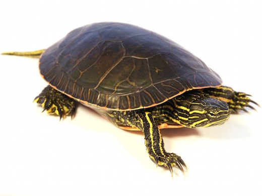https://i0.wp.com/www.backwaterreptiles.com/images/turtles/western-painted-turtle-for-sale.jpg