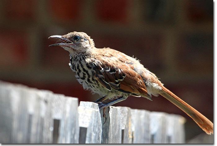 Backyard Bird Cam  Juvenile Brown Thrasher