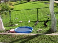 Building a duck pond | Backyard Ducks