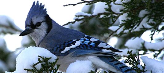 Fall Wallpaper Pintrest Facts About Birds In Winter The Backyard Naturalist