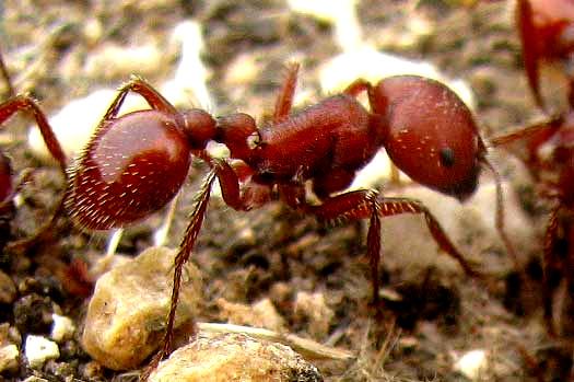 Florida Carpenter Ant Alate