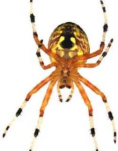 Araneus spider also spiders rh backyardnature