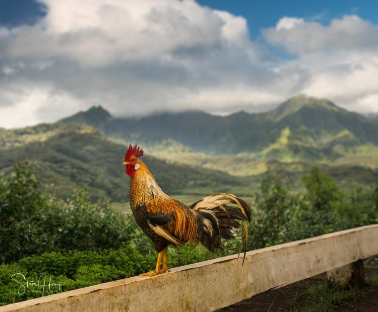 Kauai cockerel on a fence in front of the overlook in Princeville of the Hanalei Valley
