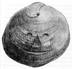 A shell, allegedly from Red Crag