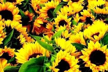 Helianthus annuus aka sunflowers