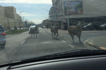 Zebras on the loose in Brussels