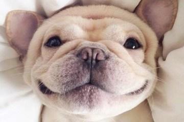 bulldog puppy smile