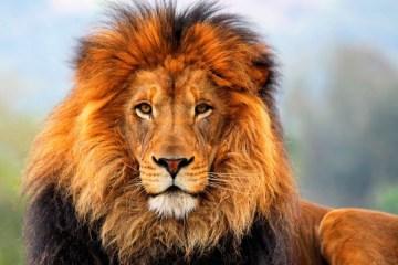 Lion Prank