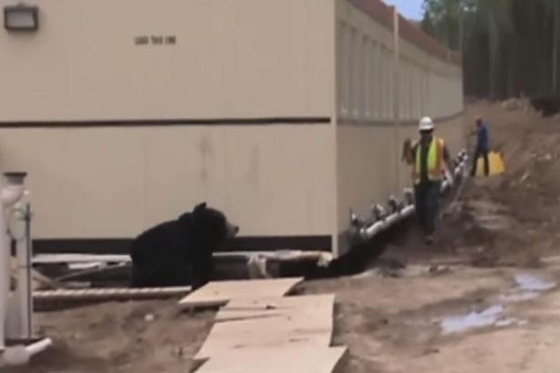 Bear Prank on a Construction site