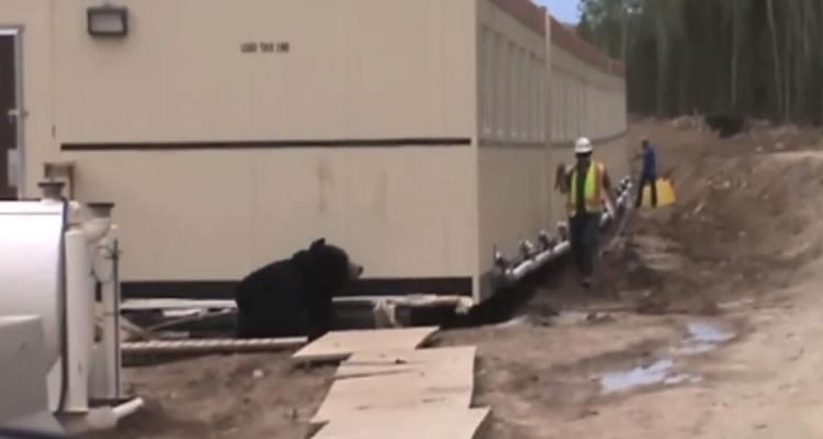 Bear Prank on a Construction site
