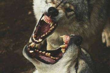 wolf fight Daily Fresh Baked Randomness (40 Photos)