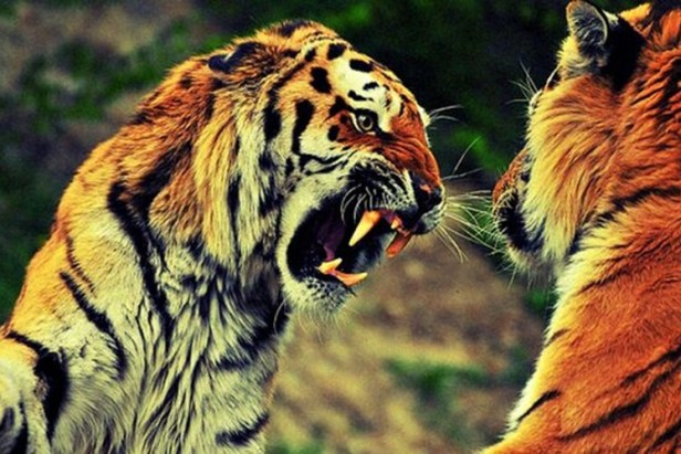 tigers fighting daily photos