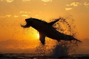 shark attack sunset