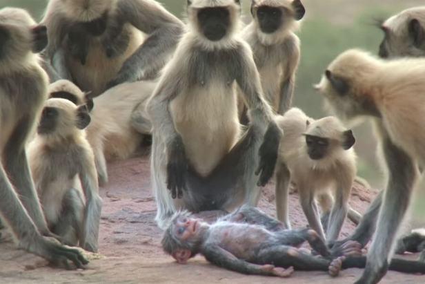 Amazing Video about Langur Monkeys Grieve over fake Monkey