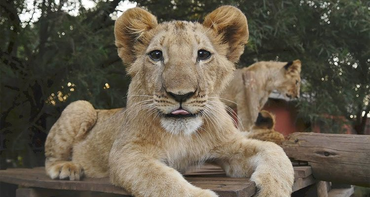 Living With Big Cats