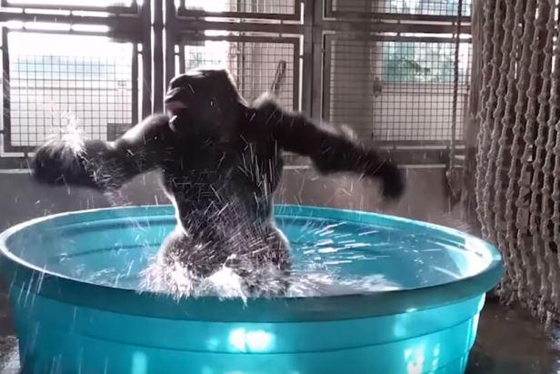 Breakdancing Gorilla Enjoys Pool