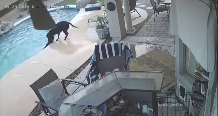 The dog rushed to the pool to save her friend