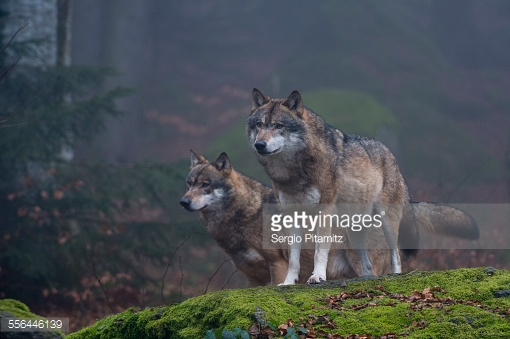 Two gray wolves, Canis lupus, on a rock. Bayerischer Wald National Park has a 200ha area with huge wildlife enclosures with some shy animals like wolf and lynx difficult to find in the wild.
